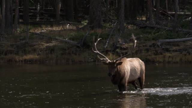 elk (cervus canadensis) stag wades in river, yellowstone, usa - hirsch stock-videos und b-roll-filmmaterial