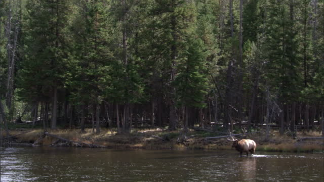 elk (cervus canadensis) stag wades in river, yellowstone, usa - rothirsch stock-videos und b-roll-filmmaterial