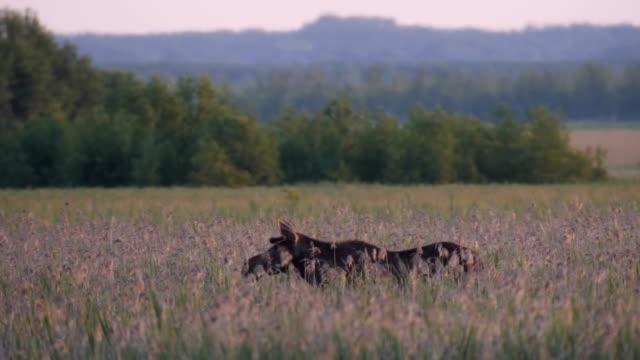 elk standing in field - deer family stock videos and b-roll footage