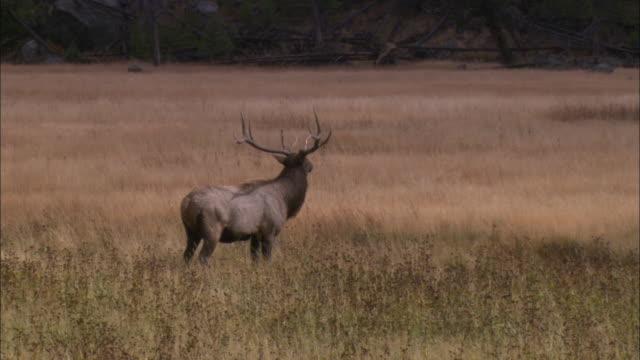 elk travel through a meadow. - グランドティトン国立公園点の映像素材/bロール