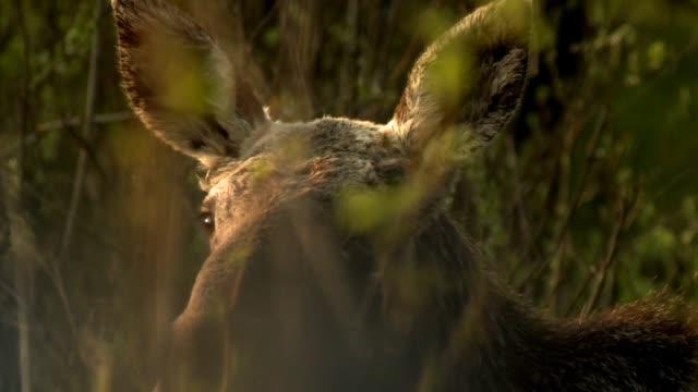 elk (alces alces) - elk stock videos & royalty-free footage