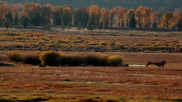 elk - wyoming stock videos & royalty-free footage