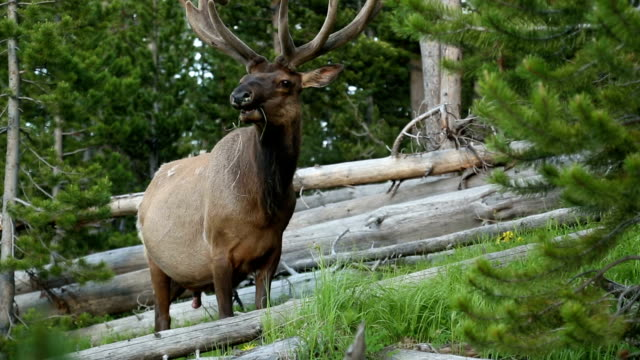 elk - yellowstone national park stock videos & royalty-free footage