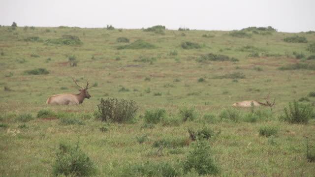 Elk Walking in Distance Through Grassy Hills