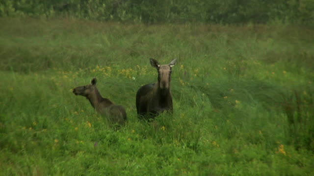 elk with cub under strong windy rain - wapiti stock videos & royalty-free footage