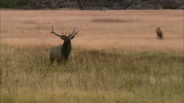 stockvideo's en b-roll-footage met ws zi ms elk (cervus canadensis) with huge antlers walking and sniffing air in grassy field / grand teton national park, wyoming, usa - grand teton national park