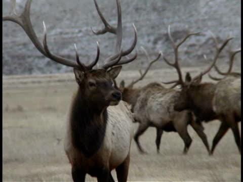 CU, Elks in field, Wyoming, USA