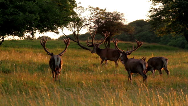 elks on the walk - antler stock videos & royalty-free footage