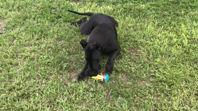 ellie the great dane is learning how to carry groceries in from the truck. watch and laugh as she happily grabs the dog treats and proudly carries... - rolling eyes stock videos & royalty-free footage