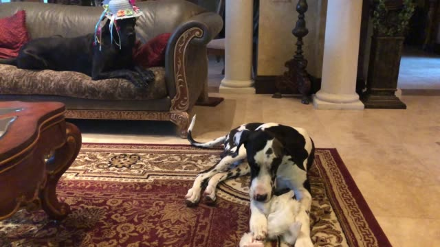 ellie the great dane is such a good girl about getting dressed up but it's hit or miss with 8monthold mikey watch and laugh as ellie poses so... - bonnet stock videos & royalty-free footage