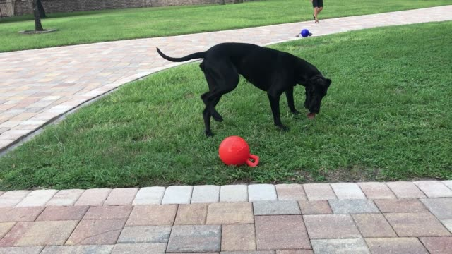 ellie the great has quite the collection of moves! watch and laugh as she bouncing and pounces after her jolly balls, playing fetch with her owner.... - jolly video stock e b–roll