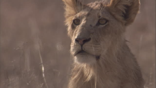 emaciated lion cub calls on savannah. available in hd - ausgemergelt stock-videos und b-roll-filmmaterial
