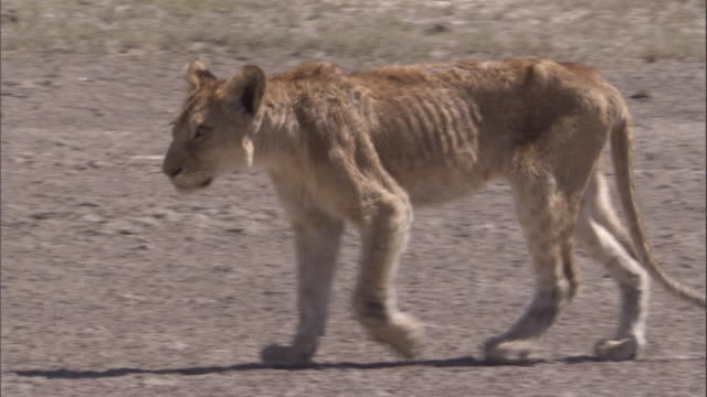 emaciated lion walks across savannah. available in hd - siccità video stock e b–roll