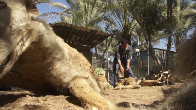 stockvideo's en b-roll-footage met embalmed animals died of starvation during israeli airstrikes on gaza are exhibited at dream park el janoob zoo in khan younis on february 3 2015 due... - israëlisch leger