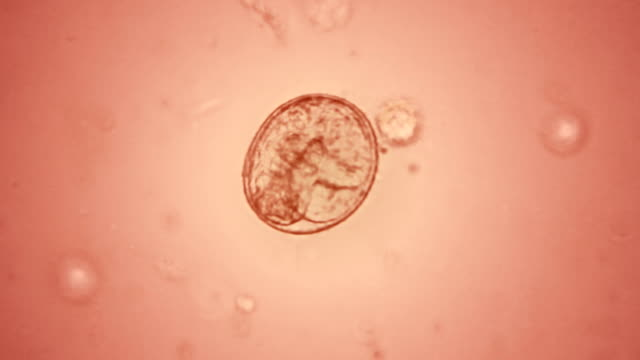 embryo in the egg - microscope stock videos & royalty-free footage