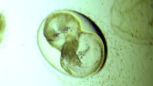 embryo of snail in egg - biology stock videos & royalty-free footage