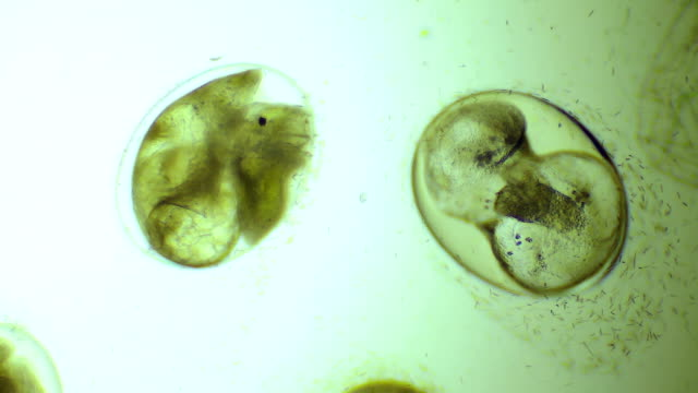 embryo of snail in egg - cloning stock videos and b-roll footage