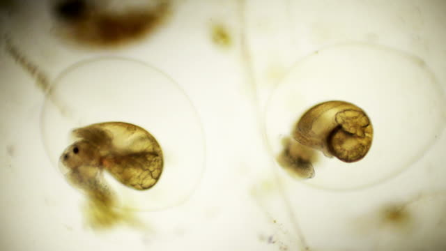 embryonic snails micrograph