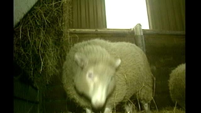 vídeos y material grabado en eventos de stock de embryonic stem cells development in medical human cloning; file / 1997 scotland: edinburgh: roslin institute: int 'dolly' the cloned sheep in pen - embrión etapa humana