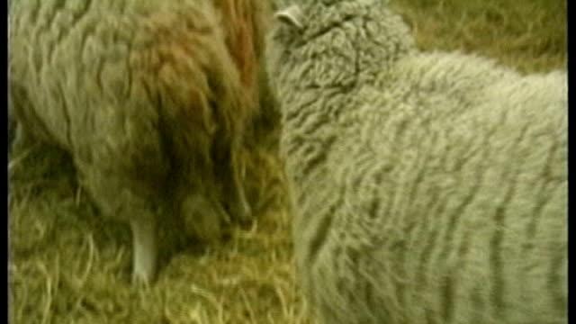 vídeos y material grabado en eventos de stock de embryonic stem cells development in medical human cloning; t14020319 / tx scotland: edinburgh: roslin institute: various shots dolly the sheep in pen - embrión etapa humana