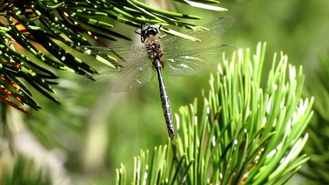 emerald dragonfly - pine branch stock videos & royalty-free footage