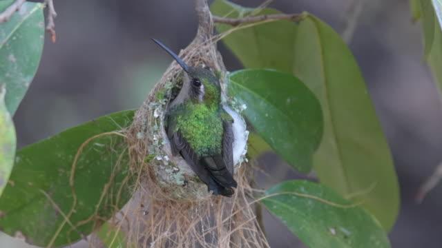 smaragd kolibri im nest mit jungtieren geflohen - kolibri stock-videos und b-roll-filmmaterial