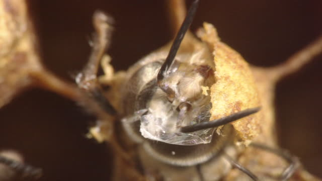 emergence of honey bee - animal antenna stock videos & royalty-free footage