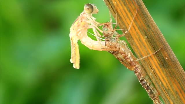 emerging dragonfly from the larva - changing form stock videos & royalty-free footage