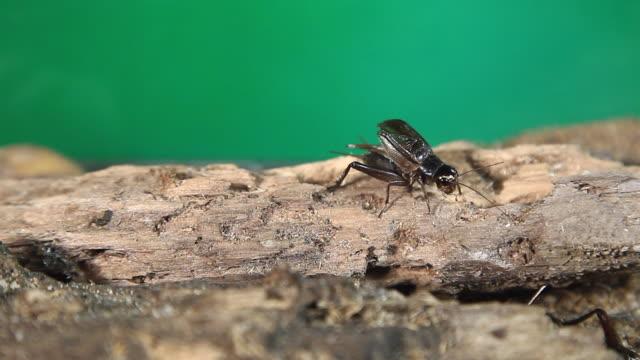 emma field cricket (teleogryllus emma) lekking - small stock videos & royalty-free footage