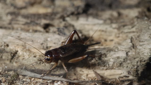 emma field cricket (teleogryllus emma) - grillo insetto video stock e b–roll