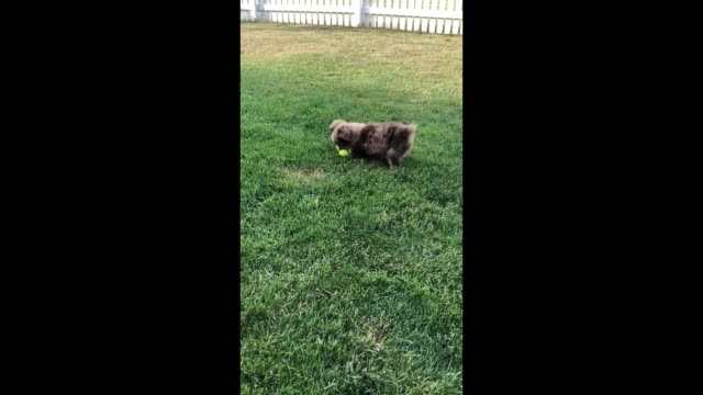 stockvideo's en b-roll-footage met emmie lou the puppy adorably pounces on her favorite tennis ball in the cutest way so precious - australische herder