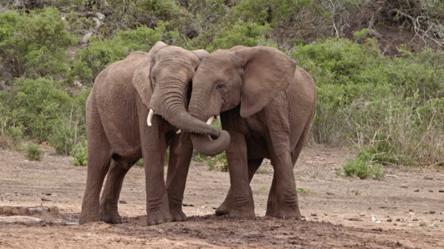 vídeos de stock, filmes e b-roll de empathic african elephants  are kissing - two young bull elephants - tuskers - side by side - playing together - elefante