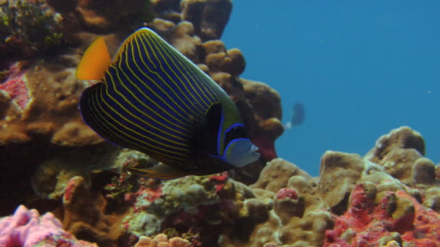 / emperor angelfish turning to face the camera above a coral reef
