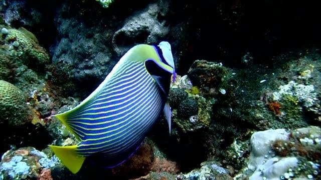 ウミウシ angelfish   - エンゼルフィッシュ点の映像素材/bロール