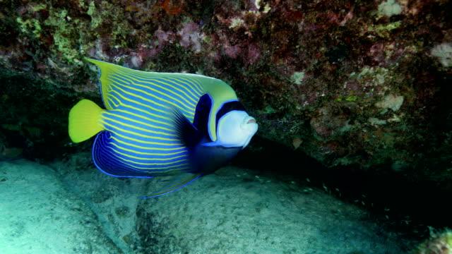 emperor angelfish - エンゼルフィッシュ点の映像素材/bロール