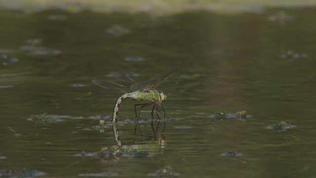 emperor dragonfly (anax imperator) lays eggs in pond, essex, england - 玉子点の映像素材/bロール