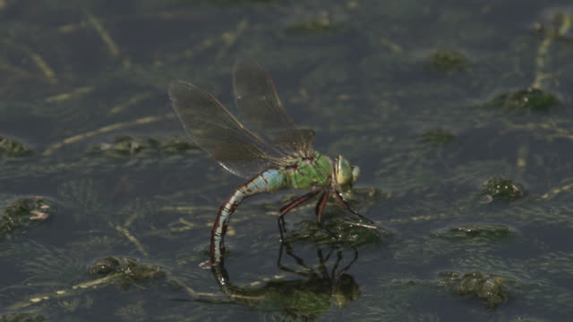 emperor dragonfly (anax imperator) lays eggs in pond, essex, england - dragonfly stock videos & royalty-free footage