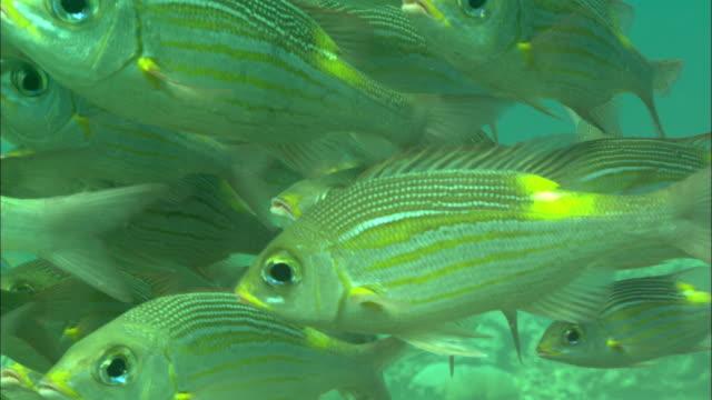 emperor fish, school mid water, close up. borneo, malaysia, southeast asia - pälsteckning bildbanksvideor och videomaterial från bakom kulisserna
