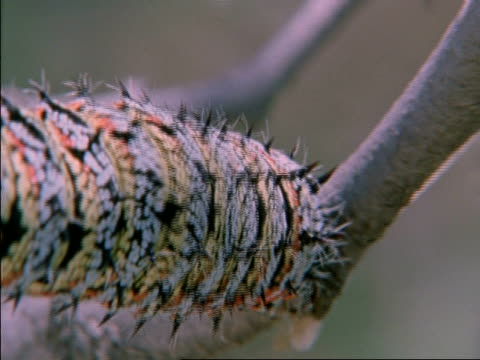 CU Emperor Moth Caterpillar crawling down side of tree, Botswana, Africa