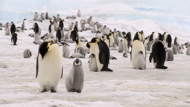 emperor penguin adult and chick - penguin stock videos & royalty-free footage