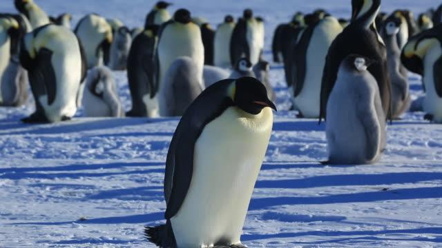 vidéos et rushes de emperor penguin (aptenodytes fosteri) adult lies down on snow - grand groupe d'animaux