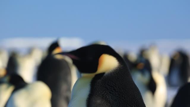 emperor penguin (aptenodytes fosteri) adult portrait - emperor penguin stock videos & royalty-free footage