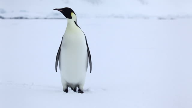 emperor penguin alone on sea ice - penguin stock videos & royalty-free footage