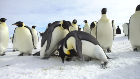 emperor penguin and dead chick - death stock videos & royalty-free footage