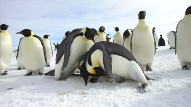 emperor penguin and dead chick - dead stock videos & royalty-free footage