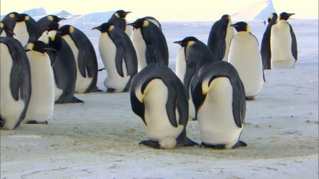 Emperor penguin and sliding egg