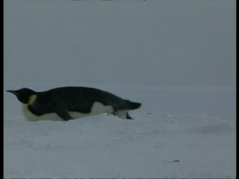 ms emperor penguin, aptenodytes forsteri, sliding across ice on belly, edited sequence, antarctica - animal abdomen stock videos and b-roll footage