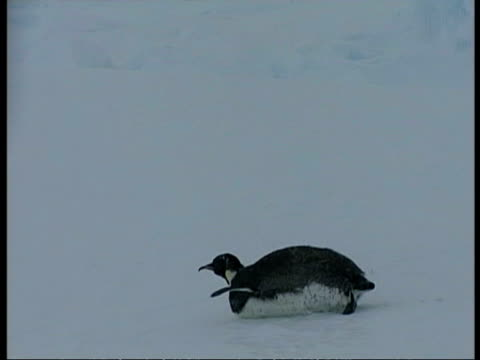 ms emperor penguin, aptenodytes forsteri, sliding across ice on belly, antarctica - animal abdomen stock videos and b-roll footage