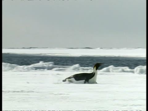 vídeos de stock, filmes e b-roll de wa emperor penguin, aptenodytes forsteri, sliding across ice on belly, antarctica - animal abdomen