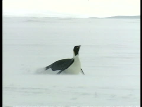 wa emperor penguin, aptenodytes forsteri, sliding across ice on belly, antarctica - sliding stock videos & royalty-free footage